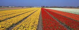 Netherlands 2015 - Tulpen
